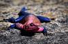 Pink-headed lizard.  Agama family.