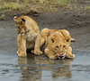 Thirsty Cubs - Ndutu, Tanzania, Africa - Darren Stratemeier - January 2016