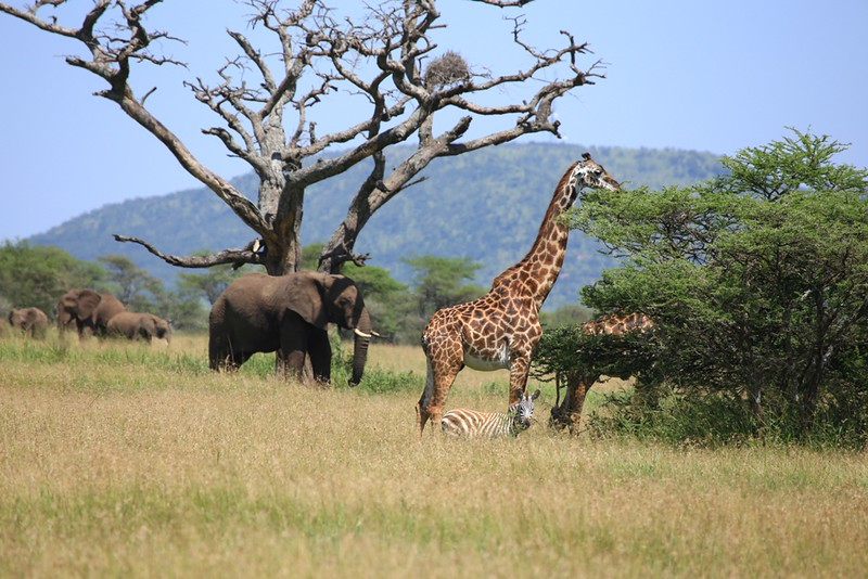Elephants, Giraffes, and Zebra in Tall Grass -  Serengeti National Park, Tanzania, Africa - Cathryn Ren - February 2016