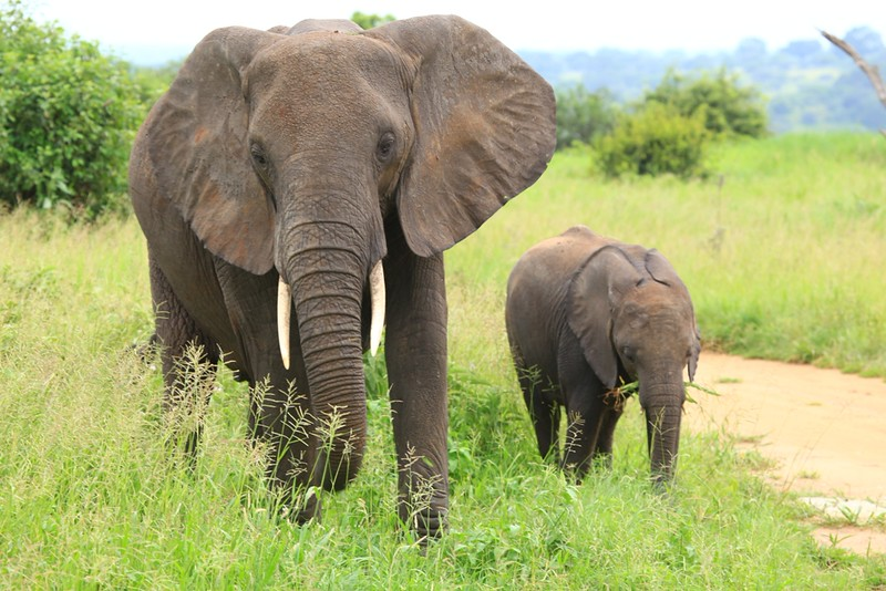 Female Elephant and Baby Beside Road -  Tarangire National Park, Tanzania, Africa - Cathryn Ren - February 2016
