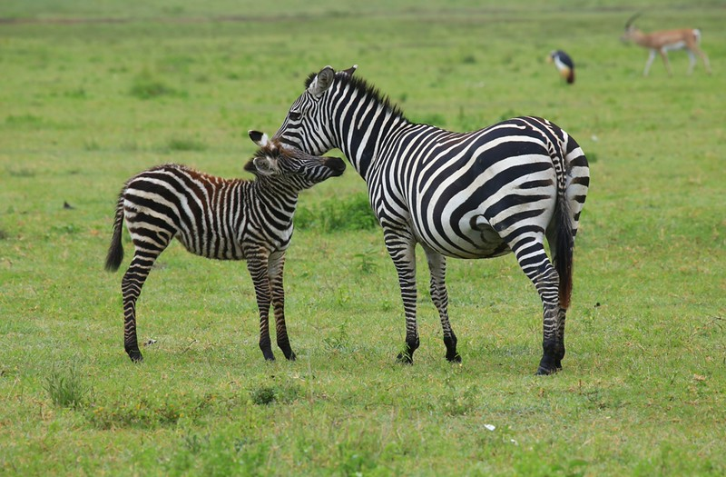 Baby Zebra and Mom -  Negorongoro Conservation Area, Tanzania, Africa - Cathryn Ren - February 2016