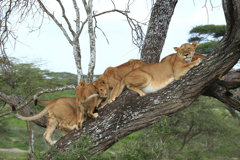 5 Lions in A Tree Cooling -  Ndutu Conservation Area, Tanzania - Africa - Cathryn Ren - February 2016