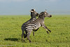 Sparring Zebras - Ngorongoro National Park, Tanzania, Africa - Darren Stratemeier - January 2016