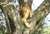 Young Lion in Tree Fork -  Ngorongro Conservation Area, Tanzania, Africa - Cathryn Ren - February 2016