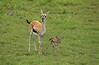Thompson Gazelle,  Negorongoro National Park, Tanzania, Africa, Cathryn Ren