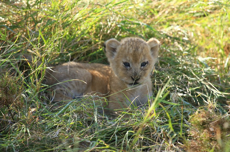 One Month Old Lion Cub Laying in the Grass -  Serengeti National Park, Tanzania, Africa - Cathryn Ren - February 2016