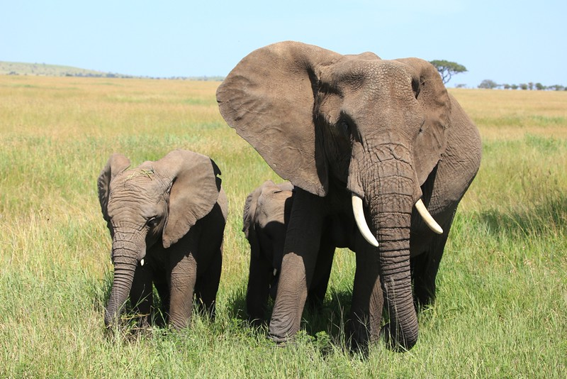 Mom Elephant and 2 Young Elephants in Tall Grass - Serengeti National Park, Tanzania, Africa - Cathryn Ren -  February 2016