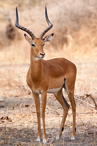 Impala      (Aepyceros datoadeni)