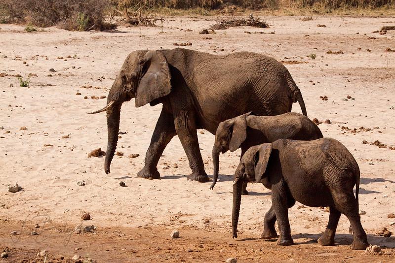 African Bush Elephant  (Elephantidae loxodonta africana)  along the Tarangire River