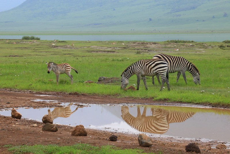 Zebra Family in Water Reflection -  Negorongoro National Park, Tanzania, Africa - Cathryn Ren - February 2016