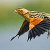 Fan-tailed Wydah bird