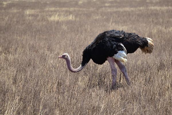 Strauss, Common Ostrich, Struthio camelus ♂