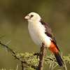 White-headed Buffalo Weaver?