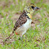 Usambiro Barbet - Only found in the Serengeti-Mara ecosystem
