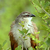 White-browed Coucal aka Water Bottle Bird