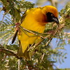 Tanzania Masked Weaver or Black-headed  Weaver
