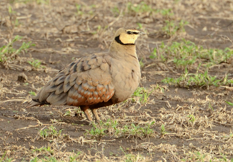 Yellow-throated Sand Grouse