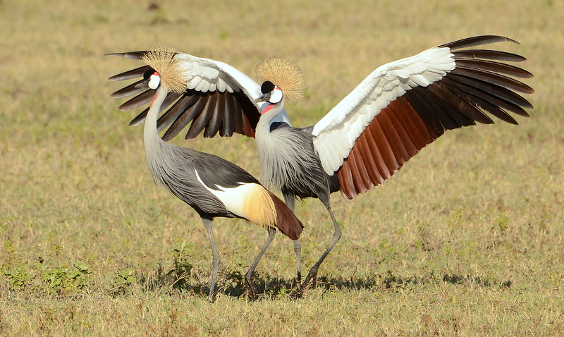Grey Crowned Crane in courtship dance