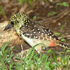 Usambiro Barbet - Only found in Serengeti-Mara ecosystem