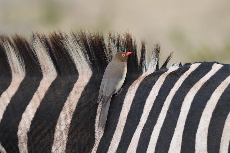 Plains Zebra and Red-billed Oxpeckers