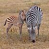 Zebras were also nursing