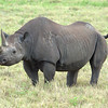 Black Rhinoceros with uplifted tail