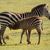 Zebra mother & nursing foal