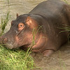 Strange factoid: Hippopotamus urinate backwards, just like the Black Rhino.