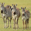 Three Plains Zebra