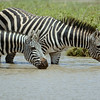 Plains Zebra drinking in the Serengeti