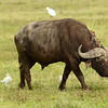 Cape buffalo with ox peckers and cattle egret on back