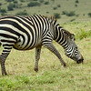 Plains Zebra grazing