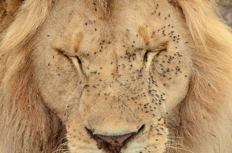 After the rain: Lion with flies