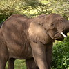 George the elephant is an elderly male that has removed himself from the herd