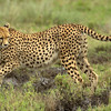 Cheetah - only feline with non-retractable claws