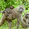 Olive Baboon with baby and youngster