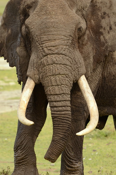 Elephant with crooked tusks