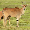 Eland with young