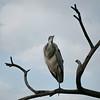 Black -headed Heron