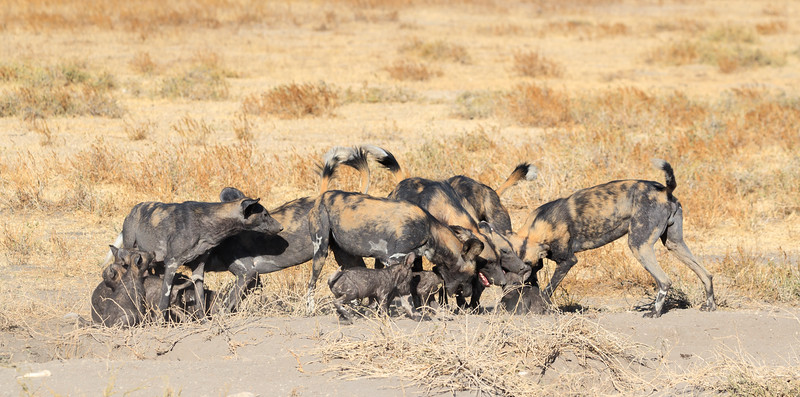African wild dogs are highly social and their greetings can be chaotic and noisy!