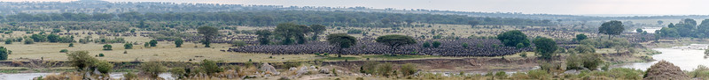 Tens of thousands of Western white-bearded wildebeest gathering to cross the Mara River
