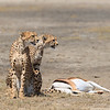 We missed this female and her subadult cub catching this gazelle by just a minute or two