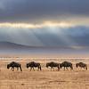 Wildebeest walking in single file across the floor of the Ngorongoro crater