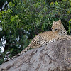 Leopards also thrive in the kopjes, with many hiding and vantage places