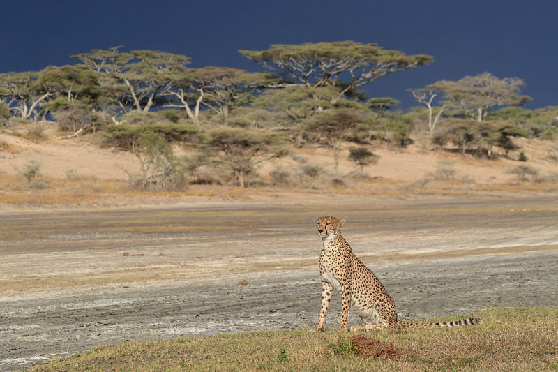 A female cheetah checking for potential prey