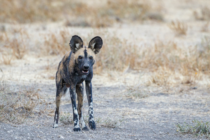 African wild dogs are endangered and their numbers are decreasing