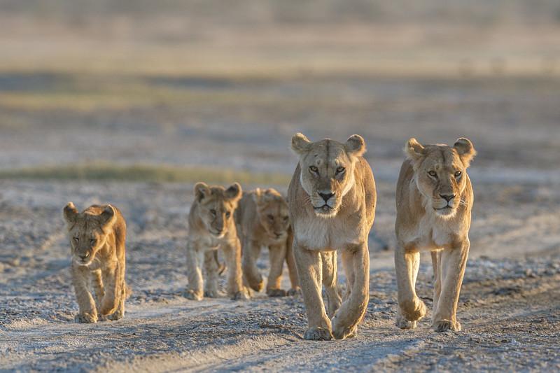 Members of the Ndutu Big Marsh pride heading to the swamp