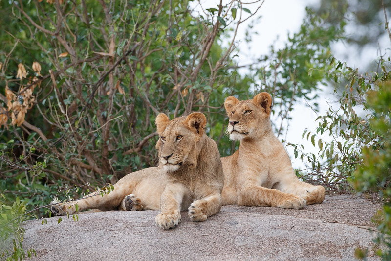 The kopjes provide an ideal place to rest and to look for prey