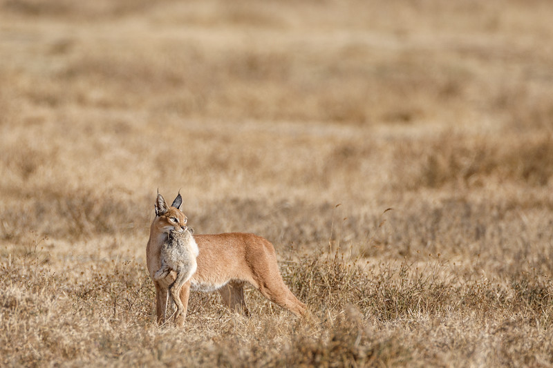 This caracal had caught a Cape hare in the Ngorongoro crater