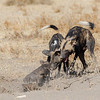 The alpha pair of African wild dogs calling their pups out of the den